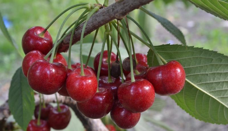Bing Cherries
